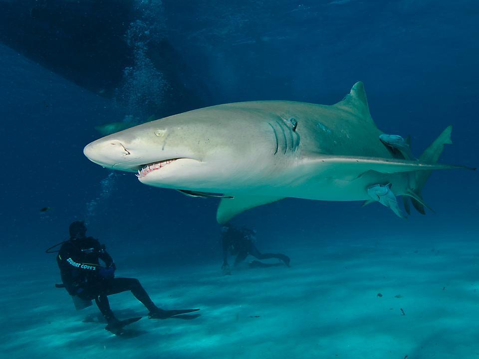 Hai und zwei Taucher