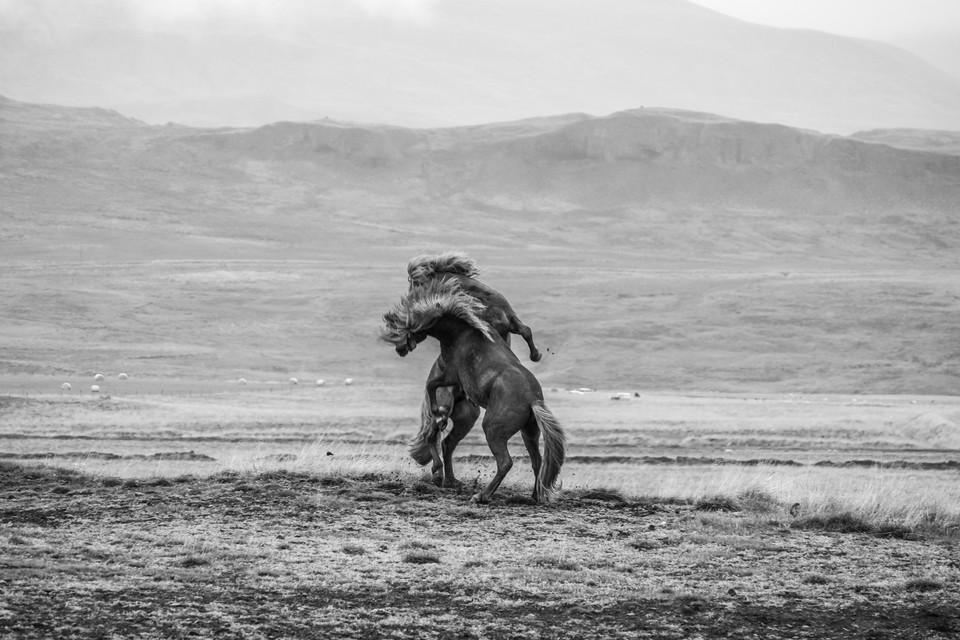 Schwarz-weiß Bild von zwei Pferden
