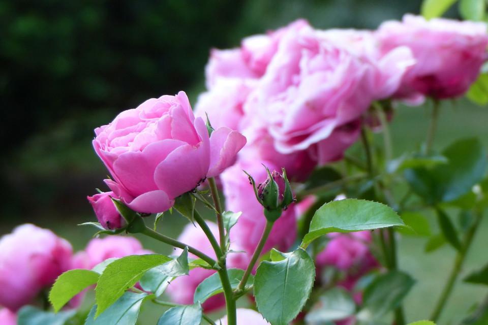 Geschenk, Leinwand, Oma, Bild, Rose,