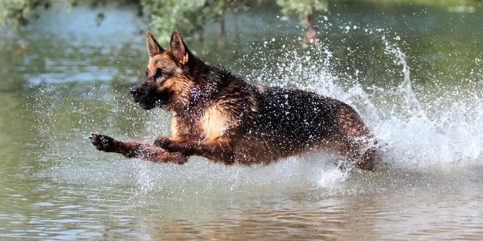 Hund, Leinwand, gedruckt, Wasser