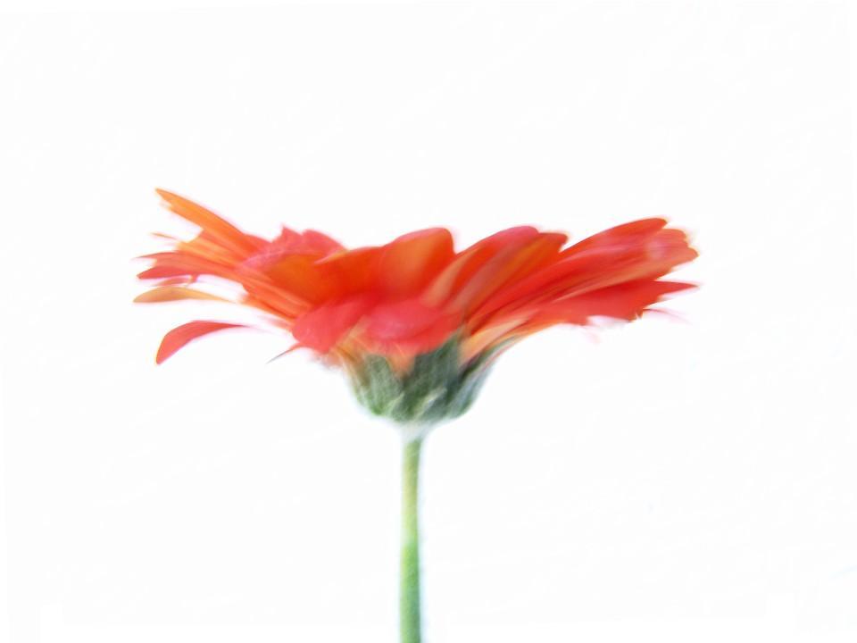 Blume, rote Blume, Kunstfotografie
