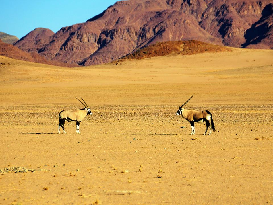 Tiere, Oryx, Afrika, Namibia