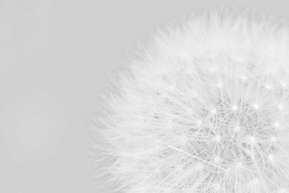 Löwenzahn, Blume, Weiß