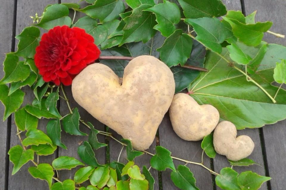 Gemüse, Kartoffel, herzförmige Kartoffel
