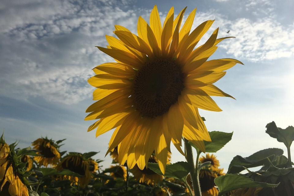 Sonnenblume, Blume, Sonne