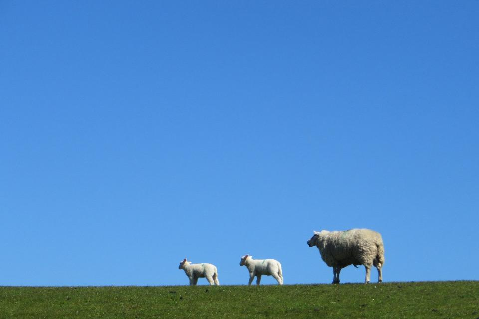 Tiere, Schaf, Schaf-Familie, Himmel