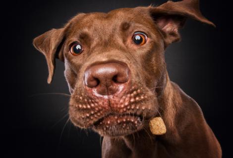 Close-up eines Super-Hund