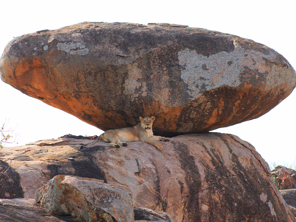 Tiere, Löwe, Serengeti, Afrika