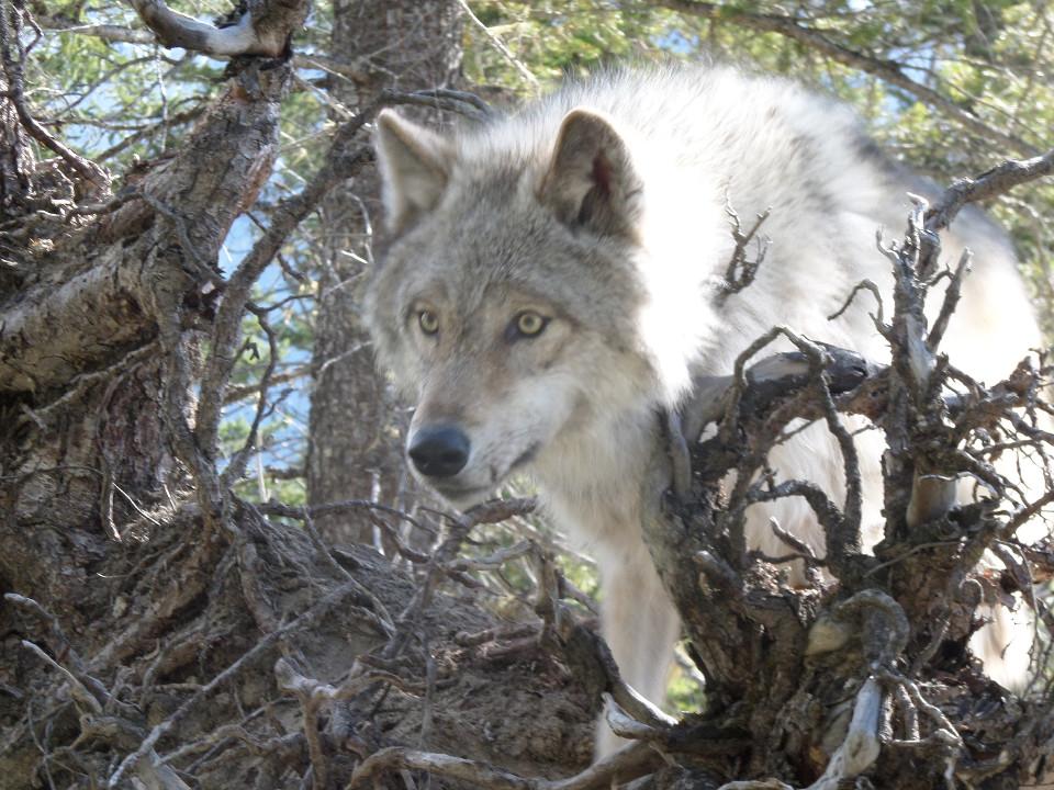 Tiere, Wolf, Wildnis, grauer Wolf