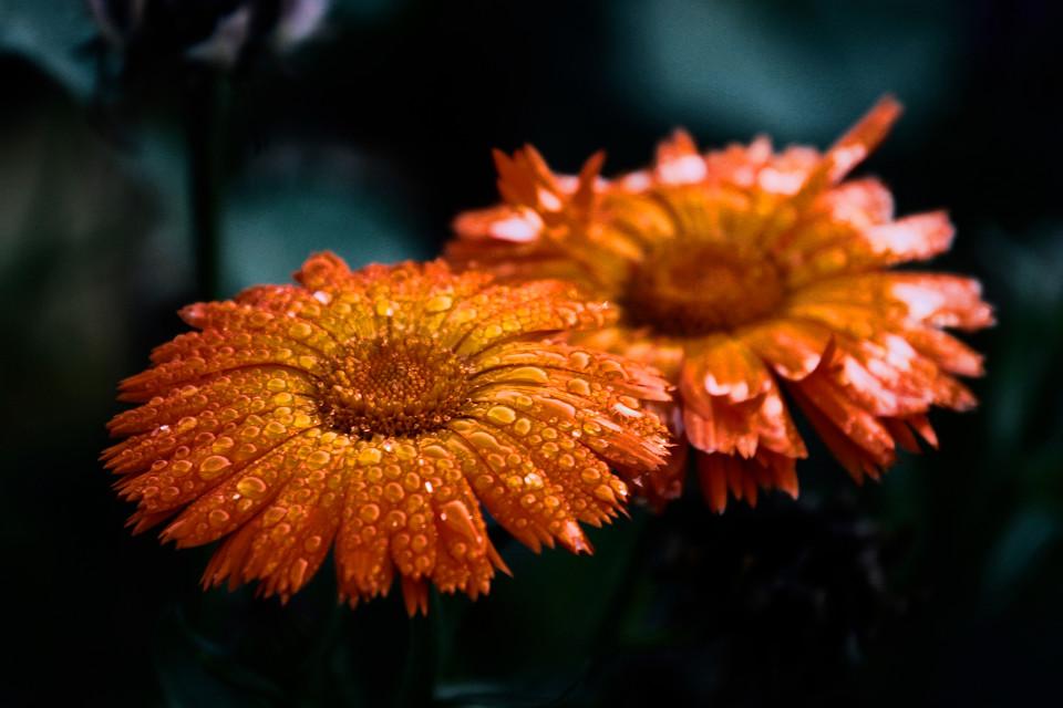 Nahansicht, Blumen, Makro, nass