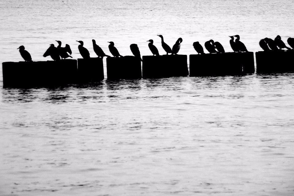 Vögel, Enten, monochrom, Wasser