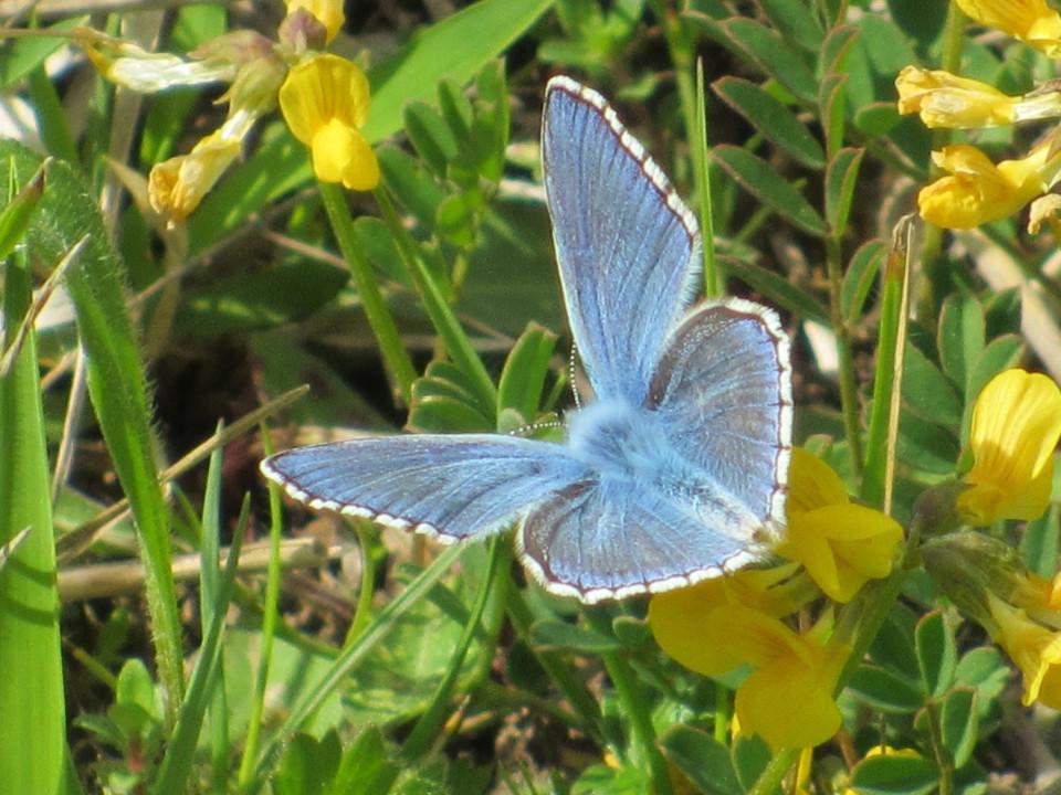 Schmetterling, blau, schön, Wiese