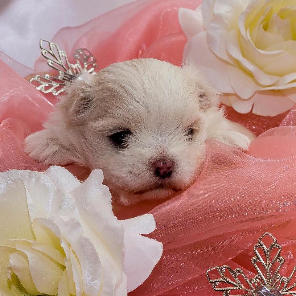 Hund, Welpe, niedlich, Prinzessin