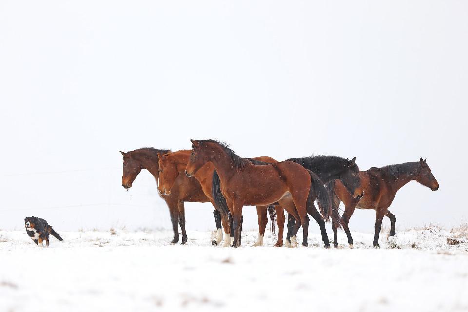 Pferde, Hund, Herde, Schnee, Weiß