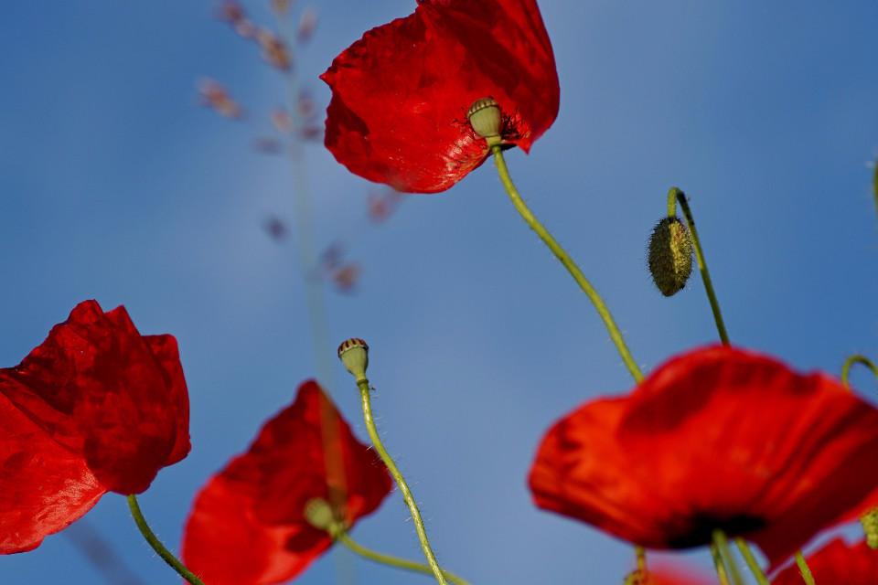 Blumen, rot, Nahansicht, Heilung
