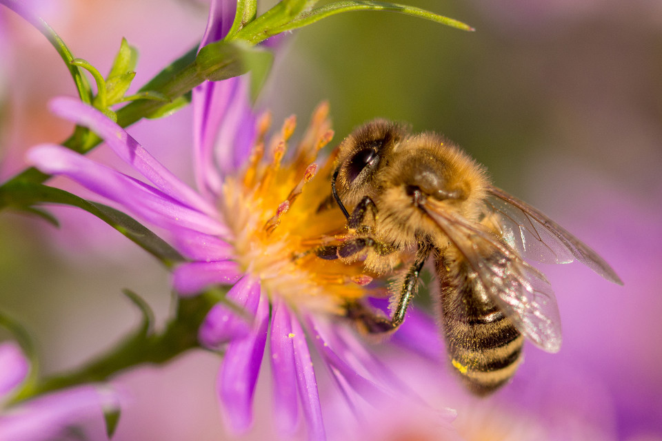 Natur, Frühling, Blume, summen, Honig, Biene