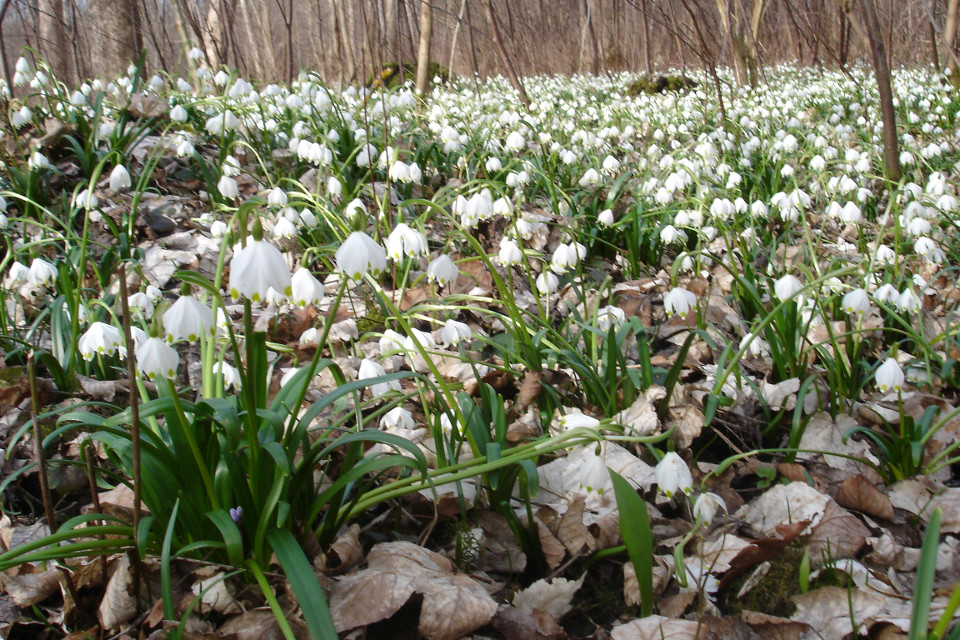 Frühling, Blumen, Märzenbecher , Donau-Auen