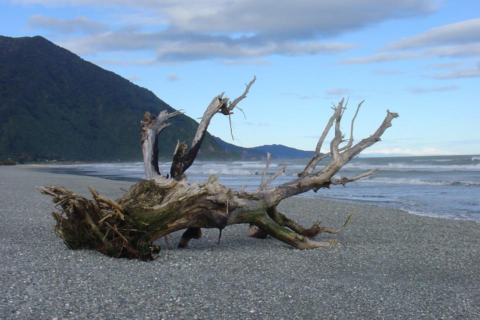 Strand, Küste, Alter baum, An Land gewaschen, Neuseeland