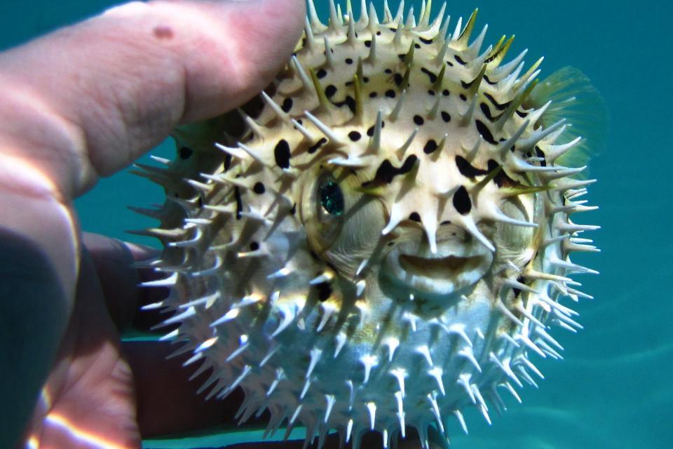 Fisch, aufgeblasen, Schnorcheln, Tetraodontidae, Kugelfisch