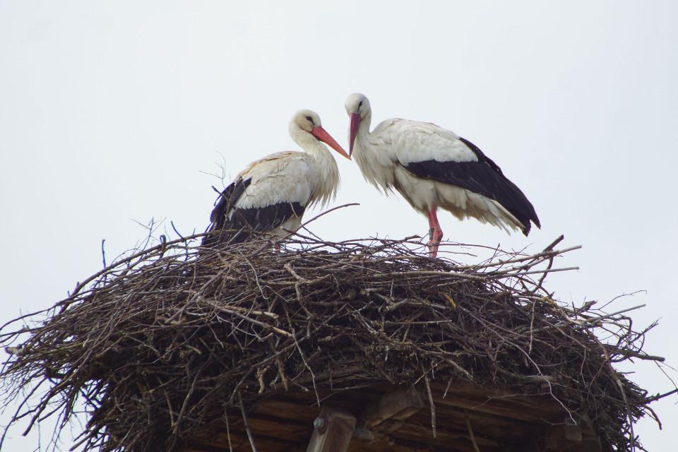 Tiere, Vögel, Storch, Frühling, Nest, Liebe
