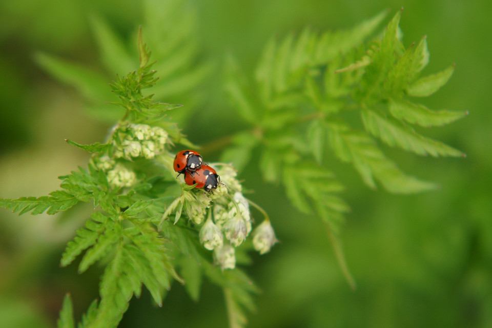 Frühling, Natur, Liebe, bugs, ladybug, romantic