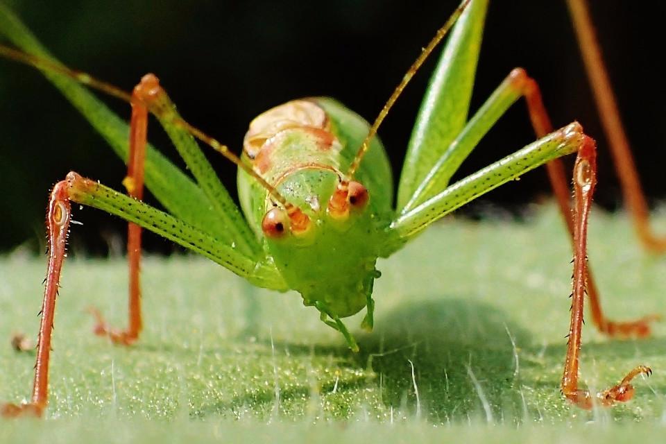 Heuschrecke, Nahaufnahme, Insekt, Grün, Dankbarkeit