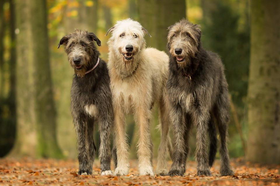 Tiere, Hunde, Herbst, Iren machen, Schöne hunde